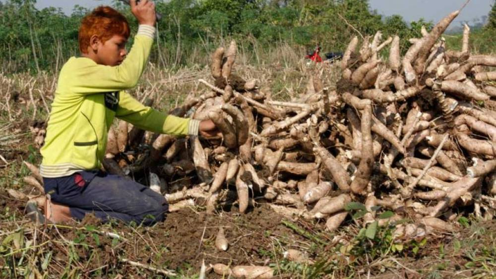 Cassava prices up on delayed harvests