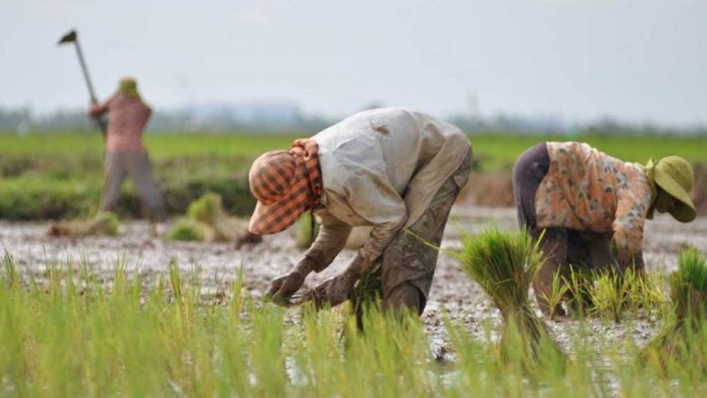 Cambodian rice price up on international market