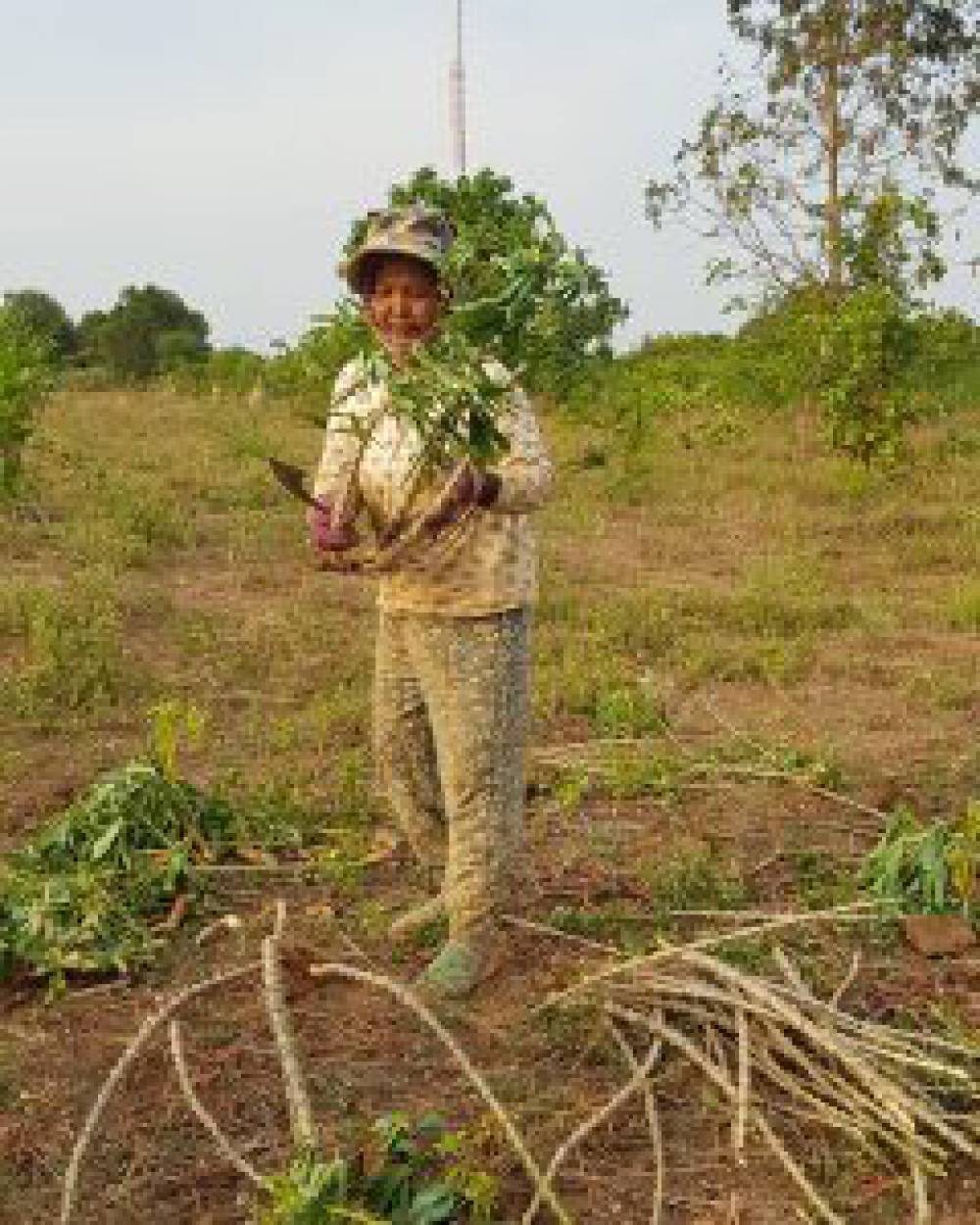Cassava mosaic disease (CMD) and its effects on Cambodian producers